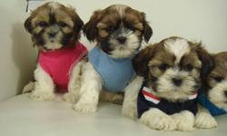 SHIH TZU PUPPIES 4 BOYS   2 GIRLS $25 OFF TODAY ($450) We have a litter of adorable shih tzu puppies. They're mostly light brown, dark brown, and white. We estimate they will mature to average around 11/12 lbs (4-5 kg) Shih tzus are very smart and easy to