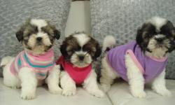 100% SHIH-TZU? (NOT A MIX) This a hypoallergenic breed, which means they are non-shedding. They stay very small, and are ideal for apartments/condos.   1 Puppy Available as of January 30/2012:   1 GIRL - BROWN/WHITE - $499   1st Vaccine Dewormings Vet