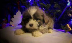 PURE Shih Tzu ($500) or Shih Tzu X Bishon ($450) 11 puppies in total to choose from! All puppies have 1st shots, de-wormed and Vet Health Certificate.   Non-shedding, hypo-Allergenic dogs that make great family pets.   Please feel free to call me for any
