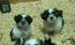 shih tzu puppies ready to go asap for a new home... pls contact 416-856-6643 for serious buyers only... parents both AKC and CKC registered... puppies are CKC registered... This ad was posted with the Kijiji Classifieds app.