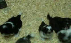 AKC registered Puppies for sale ready to go home... parents AKC and CKC registered... pls call 416-856-6643 for serious buyers only pls and thanks! This ad was posted with the Kijiji Classifieds app.