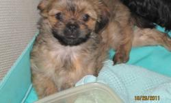 Shih Tzu Terrier cross puppies for sale to good homes. Five puppies in all. There is 1 black female, 2 light brown females, 1 light brown male, and 1 dark brown female. All puppies have had their first shots and deworming. If interested call