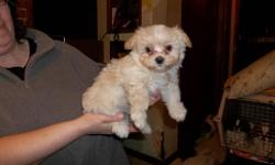 1 female $450, 1 male $380. 1st shots, vet checked, dewormed. House raised, paper trained. Will be small. Excellent temperments. Non-shedding. Each pup comes with Nutrisource puppy food, health record from the vet, a blanket and toys. Please call or