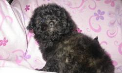 Have for sale 5 Shih Tzu x Poodle there is 3 males and 2 females-They are Hypo-Alernagenic-Will grow to about 10 to 14 pounds-Non Sheding-good for apartments or condos-Good around children-Comes with first set of needles -Been Dewormed twice-Comes with