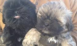 MALES AND FEMALES FIRST SHOT AND DEWORMED NON SHEDDING VERY LIVELY LITTLE PUPS IF INTERESTED CALL 289-442-1264 OR 289-775-3426 CAN DELIVER IF CLOSE