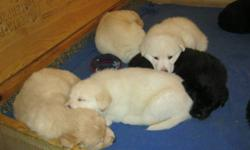 We have 4 blond and 4 black Shiloh Shepherd/Yellow Lab puppies ready to go to their forever homes on Valentine's Day.  These are large, fluffy, gentle pups.  Vet checked, dewormed, and first shots, well socialized with people and other dogs.  Come early