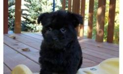 I am looking for a home for my  adorable shorkie puppies. There are four puppies and they will get to around 7-8lbs. Their dad was our little yorkie and the mom is a shih tzu, both are wonderful pets. The puppies have had their first vaccination, and we