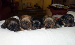 2 males, 2 females.  Yorkie Shih Tzu Cross, Born Oct 17, 2011.  Awesome parents.  Puppies will have sweet personality too! They will be about 8-10 lbs. when full grown and are non-shedding. Great family dog!   Puppies will be vet checked, dewormed & have