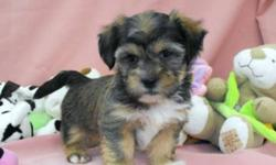 They are a non-shedding small house pet. They are well known for being very good with people of all ages especially children and are also good with other dogs. These puppies will grow to be around 9lbs as adults.  They o home with puppy food, treats and a