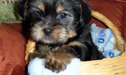Shorkie puppies (ShihTzu x Yorkie)   $350 each   1 female left!!   Puppies have the following:   *Veterinarian health check - signed health record provided * First Vaccinations * wormed with Safe-Guard * Revolution applied   Shorkies make excellent family
