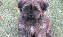 """Our Shih-tzu """"Sassy"""" still has 2 handsome boys looking for new homes.Their Dad is a Yorkie Terrier.Puppies have been raised in our family home with their mom. They have been around children as young as 3 years old. They love playing outside. They have"""