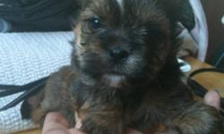 beautiful baby shorkies two girls two boys with gorgeous coloring . Dad is a pure bred yorkie imported from USA pedigree is available for viewing mom is full shih tzu the puppies are a month old so we are taking deposits now of $200 then the rest of the