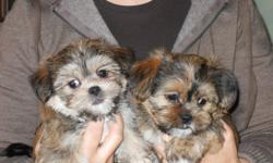 Shorkies, the most adorable,cutest little Shih-tzu Yorkshire Terrier mix puppies. 2 females, 3 males , 8 weeks old. Playful, curious, love to be held. Puppies are raised in a family home with lots of love. Also take home a toy and food and blanket to make