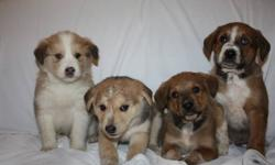 5 days to truro ..will be there Friday .   4 puppies available ,dewormed ready to go !! they are 299$ great buy for Christmas very nice pups with health guarantee . please send your phone number if you would like to reserve one . Female is the second