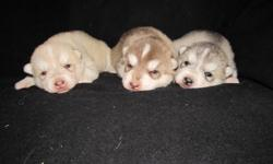 Siberian Husky pups available October 18th. Fat, healthy, heavy boned pups. Will be dewormed, first vaccinations and first treatment of Advantage Multi. Please contact to make appointment for viewing. Deposit of $100. will hold your choice till pick up.