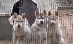 Ready to go to their new homes. Three adorable Siberian Huskies, one grey/white male and 2 red/white females. Wormed, vaccinated and first treatment of Advantage Multi to insure they stay parasite free for one month. Big boned, healthy pups. House and