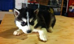 7 pure breed siberian husky puppies. 2 boys and 5 girls. only 2 girls and 1boy available now. #1 is boy #2 and #3 are girls