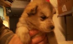 Xmas special Only $350! Purebred Siberian Husky puppies. Ready to go home. Great with kids and other pets. CALL 780 658 3978