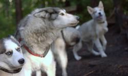 Elaine Pinard's Inook Siberian Pack Many new births New Pictures - Dec 19 Link to Pictures: copy and paste address below https://picasaweb.google.com/110074905476010188798/NEWPUPSDanseAvecLesLoups#slideshow/5689486904281896610 Beautiful temperament