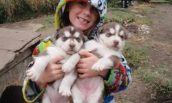 These adorable Siberian Husky x Malamute pups will be ready to go on Nov. 11/11.  They will be dewormed, vet checked and have thier first shots.  They are fun and playful.  Both parents are great with kids, other dogs and have good temperments.  Pic 1 is