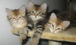 I am looking to adopt a Siberian kitten! My boyfriend and I recently decided it was time to add to our little family! We are looking for a price range of 2-500 dollars and can drive to pick him/her up This ad was posted with the Kijiji Classifieds app.