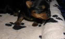 SILKY TERRIER MALE PUPPY CKC REGISTERED. WILL HAVE FIRST NEEDLE, TATTOOED, DE-WORMED, VET CHECKED AND HEALTH GUARANTEE. SILKY TERRIER IS A HYPOALLERGENIC NON SHEDDING TOY BREED. THE SILKY IS SIMILAR TO THE YORKIE  BUT IS A  BIGGER DOG WEIGHING  BETWEEN 8