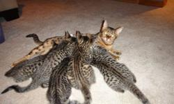 Qualicum 2 Beautiful begals left. They are not like regular cats :) They LOVE playing with water and balancing on anything!!! Very playful and great temperment. Raised with other animals and kids. Litter trained ready to find forver homes.