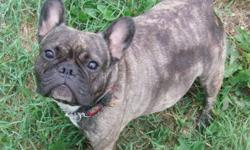 I have a beautiful silver brindle female french bulldog for sale. She is due to come into heat anytime now. She has had a litter of puppies with me and is an excellant mother! If interested in her please email me and I can even deliver her to city if