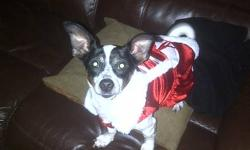 .   We currently have Pickles being fostered in Banff, AB available for adoption.   Pickles(Pixie) is a 1 1/2 year old Chihuahua mix - super sweet and easy going. Loves to cuddle and gets along well with dogs, cats and kids.      If you are interested in