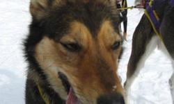 Retired sled dogs available as pets or recreational team. We have some pet quality sled dogs we would like to place as pets. For more info please email and we will reply. Photos available. Dog Sled related gear for sale as well. Sleds, lines, harnesses,