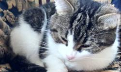 Munchkin is a small short fur, spayed cat. She has white, brown, and black fur. Munch is sweet and shy until you get to know her. She's used to many cats, small children and a medium sized puppy. We don't want to see her leave our family but she needs