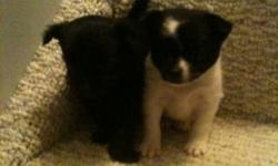 Two females, short hair, mom's a pom/japanese Spaniel cross, dad's schnauzer, min America Eskimo cross. Very cute. This ad was posted with the Kijiji Classifieds app.