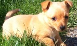 Let me tell you about these little pups, they are happy healthy and very smart. They are very social and good with other dogs and pets. These pups were rescued from a uncertain future and are the lucky to be around. They came from a disfunctional home
