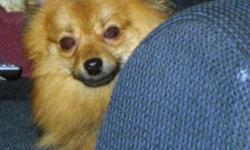 Smiley's info... Breed: Pomeranian Sex: Male Age: Adult Size: Small 25 lbs (11 kg) or less Color: Reddish brown Smiley is... Housetrained Good with Kids Good with dogs Up to date with shots Already neutered Purebred Smiley's story... Hi there. I?m Smiley,