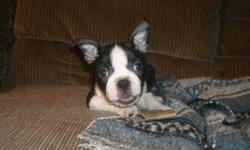VERY FRIENDLY,WELL SOCIALIZED AND VERY AFFECTIONATE BOSTON TERRIER PUPS AVAILABLE TO A GOOD HOME NOW. MOM AND DAD ON SITE, ONLY 2 PUPS LEFT. VET CHECKED, DEWORMED, 1ST SHOTS SERIOUS INQUIRIES ONLY PLEASE