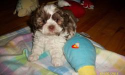 PUPPIES !   Please see pictures Shih Tzu x Poodle non shedding hypo allergenic max 10-12 LBS trained, loving, smart, cute and cuddly.   Dewormed, Vet Checked, 1st Shots/ Vaccinations at 8 weeks old   Available Wednesday after 2pm, please call to schedule