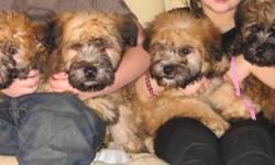 Our beautiful Soft Coated Wheaten Terriers are cuddly and adorable. We have our children interacting with them all the time and they love to play! They are in a good home and have been health checked and come with a health guarantee. Please call James or