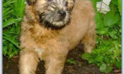 The puppies are ready to go !!! We have 3 male Soft Coated Wheaten  Terrier puppies .  American & Irish coats ! All pups will go with the first vaccines, vet exam, deworming, microchip, registration & a 6 year health guarantee. Visit us at
