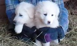 Great White Pyrenees puppies, good natured, excellent livestock guard dogs and family pets. The parents are sheep guard dogs on our farm. Vaccinated and dewormed. Ready to go now. The price is only $350 since they are not registered, but they are pure
