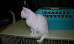We have a gorgeous, loving fixed adult female cat looking for a loving home. She is between 6 to 7 yrs old. Very, affectionate. Short to Med haired, pure white, with Green/Gold eyes.    She is an indoor/outdoor cat, litter trained, but prefers to go