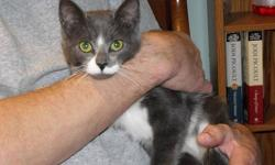 She is 7 months old and all of her vaccinations are up to date. She has a sweet, gentle disposition and is very affectionate toward us, though somewhat shy at first. She loves to snuggle. She gets along well with our other cats but has not been exposed to