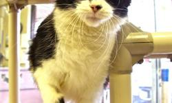Hi, my name is Spitz, and I'm currently staying at the Sudbury SPCA. I'm a friendly, playful girl. I like to flop onto my back to let humans know when it's time for them to give me belly rubs! I'm black and white, and I have a cute little nose. Come say