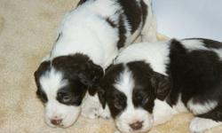 two male and two females left, the father is pure Springer spaniel and the Mother is Britney Spaniel.Very good hunting dogs? The pups will be in time for Christmas. Come in put your deposit of $100.00 all are liver and white. Both parents on site . Pups