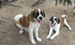 Adorable St-Bernard puppies ready for there new loving homes on the weekend od 17-18 December just on time for a nice xmass present. Parents on site, the dad is long hair the mom short hair, first shots and dewormed. First picture is the parents, only 2