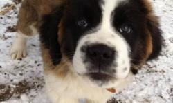 3 month old make st Bernard. First shots. Good with other animals and kids. Just don't have the time at the moment for a puppy. Looking for a good home for him. This ad was posted with the Kijiji Classifieds app.