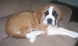 Purebred male St Bernard pup. First and secound shots, dewormed. Very laid back personality. Good with children. Must go. Please call 519-669-2186. This add was not posted by the owner but by a friend. Please do not call Sundays.