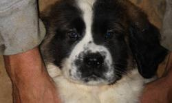2 males left, have had first shots, and dewormed.  Both parents are pure bread and weigh in at about 200lbs. Both parents have great personalities and have been raised with kids.  The 1st 2 pics are of puppy #1 and the 4th and 5th pictures are of puppy