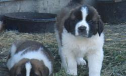 4females left 2 long hair and 2 short hair. These dogs are friendly and great with children.These dogs all have their first shots are dewormed and vet checked. I Can deliver to Saskatoon on Saturday November 12. But $500 if you pick them up  on the yard.