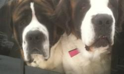 Saint Bernard puppies for sale. Perfect Christmas gift! Mom and dad both on site. Dad is short haired, about 125lbs. Mom is long haired and about 135 pounds. Both very good personalities! 8 more puppies available--all male--and adorable! They can be at