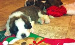 Don't be fooled by others on here claiming to be breeders. We are knowledge on the breed and have had both our male and female fully checked out for medical or genetic issues. Our pups come with a full health guarantee. Saint Bernard puppies for sale.